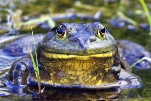 1024px-Bullfrog_-_natures_pics[1]